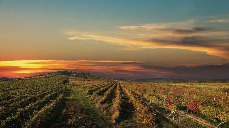 Weingärten der Weinkarpaten